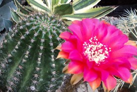 CactusBloomKSEx