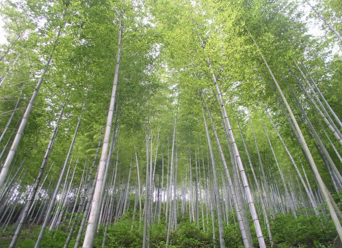 """Anhui's """"Bamboo Sea"""" where the film Crouching Tiger, Hidden Dragon was filmed."""
