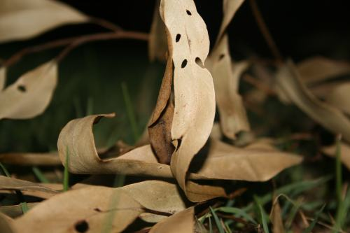 Taken by Charlotte, 15 years old. Gum leaves in our back yard.