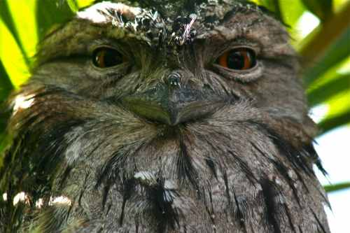 This tawny frogmouth (they are not actually owls, as many believe) and his family visit our home often. My husband snapped this photo just near our washing line. The bird stayed there nearly the whole day supervising our laundry 