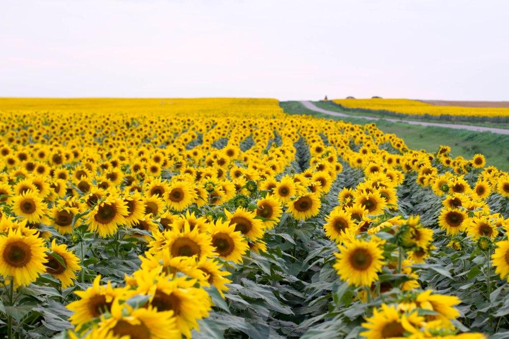 North Dakota's magical sunflowers, by Jenny Dewey Rohrich  (1/6)