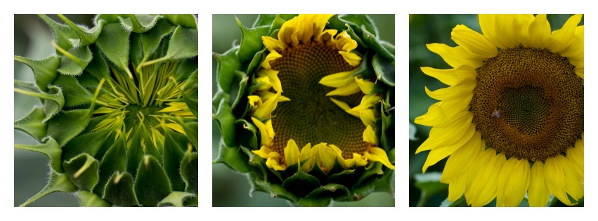 North Dakota's magical sunflowers, by Jenny Dewey Rohrich  (2/6)