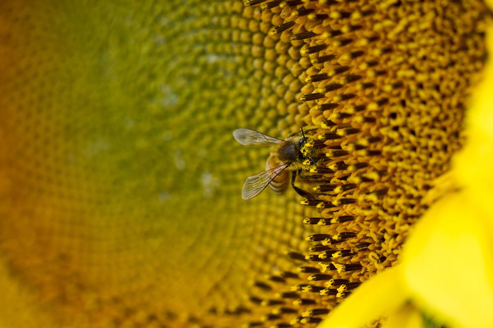 North Dakota's magical sunflowers, by Jenny Dewey Rohrich  (3/6)