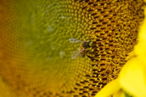 Sunflower Photo 3