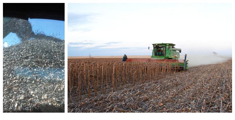 North Dakota's magical sunflowers, by Jenny Dewey Rohrich  (4/6)