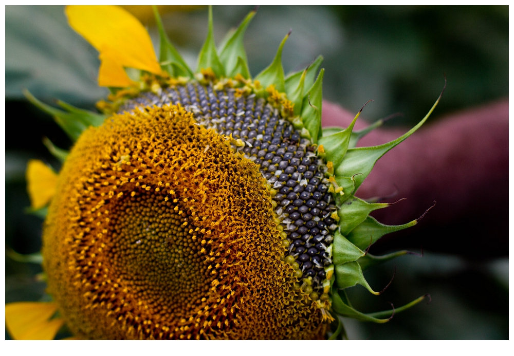 North Dakota's magical sunflowers, by Jenny Dewey Rohrich  (5/6)