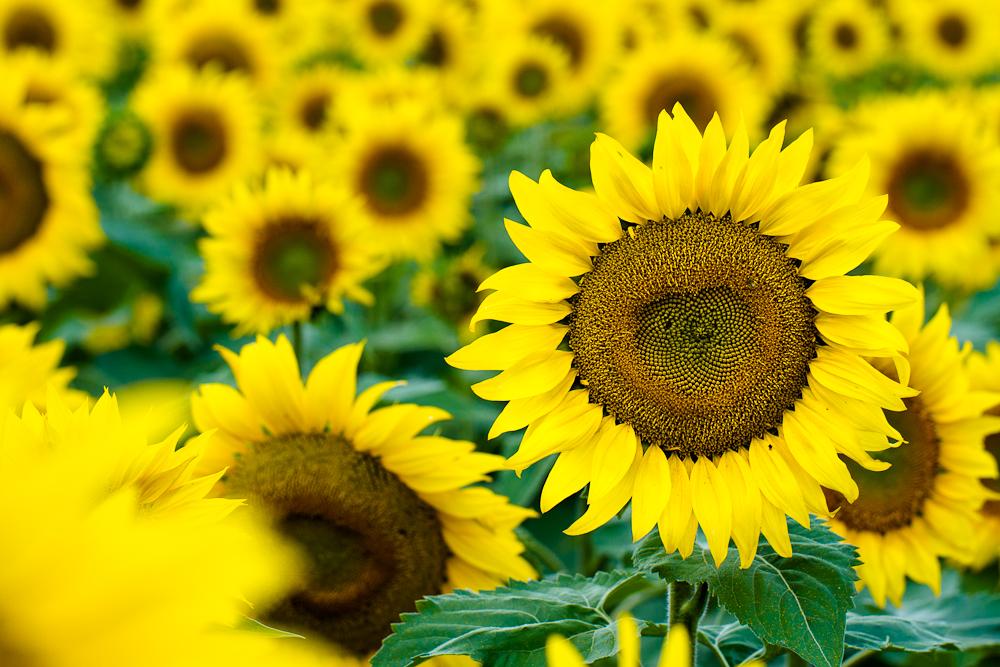North Dakota's magical sunflowers, by Jenny Dewey Rohrich  (6/6)